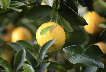 Five Reasons Why You Should Include Lemons In Your Diet